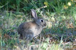 European Rabbit (Oryctolagus cuniculus)
